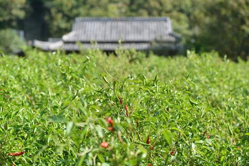 高田さんの香川本鷹の畑