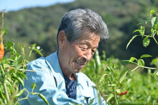 香川本鷹を収穫する高田さん